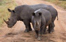 Два диких носороги — стоковое фото