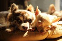 Chihuahua chiens couchés sur l'oreiller — Photo de stock