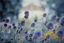 Violette Blumen mit Gebäude — Stockfoto