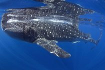 View of Whale Shark — Stock Photo