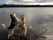 Husky dogs playing beside water — Stock Photo