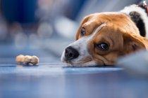 Cachorro Beagle deitado com osso Corrêa — Fotografia de Stock