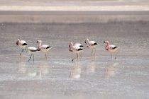 Flamingoes in Laguna Blanca — Stock Photo