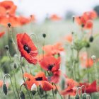 Poppies blossom in meadow — Stock Photo