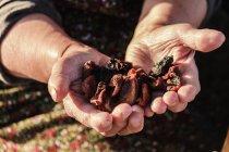 Manos sosteniendo fruta seca - foto de stock