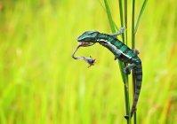 Indonesia, caza de camaleón - foto de stock