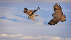 Great Grey Owls fighting — Stock Photo