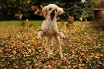 Pudelhund spielen mit Blättern — Stockfoto