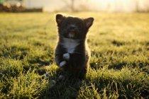 Чихуахуа цуценя собаки гра — стокове фото