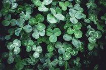 Зелёный клевер — стоковое фото