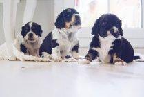 Chiot chiens assis sur le sol — Photo de stock