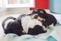 Три собаки, лежачи на ковдру — стокове фото