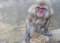 Monkey heated in hot springs water — Stock Photo