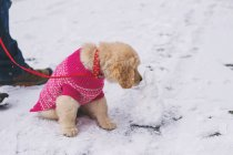 Welpe Hund lecken Mini Schneemann — Stockfoto