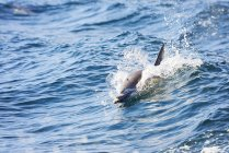 Dolphin swimming over water — Stock Photo