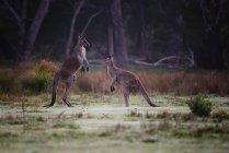 Kangaroos standing face to face — Stock Photo