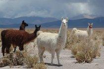 Branco di selvaggi llamas — Foto stock