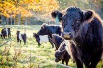 Herde der Belted Galloway-Kühe — Stockfoto
