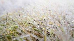 Erba congelata in ghiaccio — Foto stock