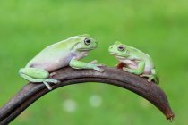 Two tree frogs — Stock Photo