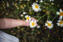 Baby Mädchen Kommissionierung daisys — Stockfoto