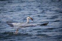 Сіра чапля, проведення риба — стокове фото