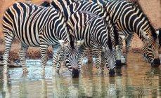 Строка Берчелл зебр — стоковое фото