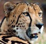 Close-up de King Cheetah — Fotografia de Stock