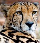 Primer plano de rey guepardo - foto de stock