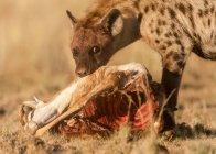 Iena che si nutre di springbok morto — Foto stock