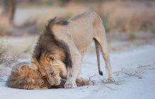 Два льва игра — стоковое фото
