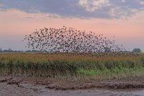 Herde von Stare über reed — Stockfoto