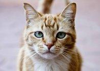 Retrato de gato ruivo — Fotografia de Stock