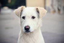 Portrait de chien blanc — Photo de stock