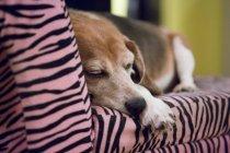 Собака спит на розовом диване — стоковое фото