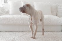 Shar-pei dog beside white sofa — Stock Photo