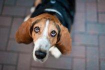 Бігль собака на тротуар, шукаючи — стокове фото
