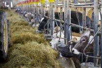 Vaches se nourrir dans l'étable — Photo de stock