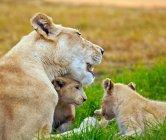 Löwin mit Jungtieren auf der Wiese — Stockfoto