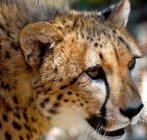 Focinho de King Cheetah — Fotografia de Stock