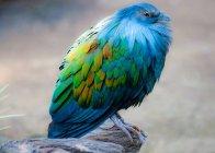 Никобарские голубь, Южная Африка — стоковое фото