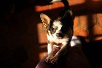Chien Chihuahua sur chaise — Photo de stock