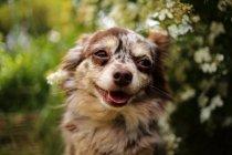 Счастливый Чиуауа Собаки — стоковое фото