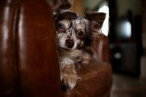 Собака чихуахуа на диване — стоковое фото