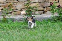 Fox terrier puppy — Stock Photo
