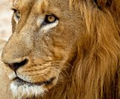 Majestic glance wild lion — Stock Photo