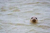 Sello en mar, Escocia - foto de stock