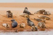 Baccello di sigilli sdraiato su un banco di sabbia — Foto stock