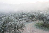 Olivos cubren de escarcha en el invierno - foto de stock