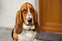 Бассета собака — стокове фото